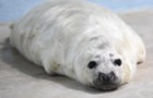 Cute animal alert: Unto us a baby seal is born