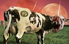 How dangerous are cows?
