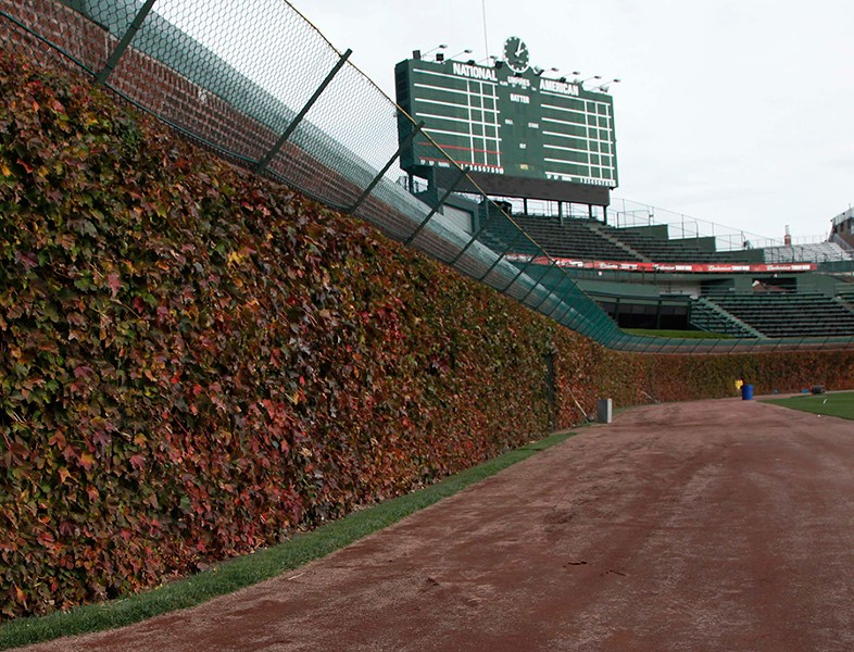 The iconic ivy beckons at Wrigley Field. - CHARLES REX ARBOGAST