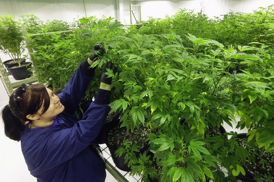 "Ashley Thompson inspects plants inside the ""Mother Room"" at the Ataraxia medical marijuana cultivation center in Albion. - AP PHOTO/SETH PERLMAN, FILE"