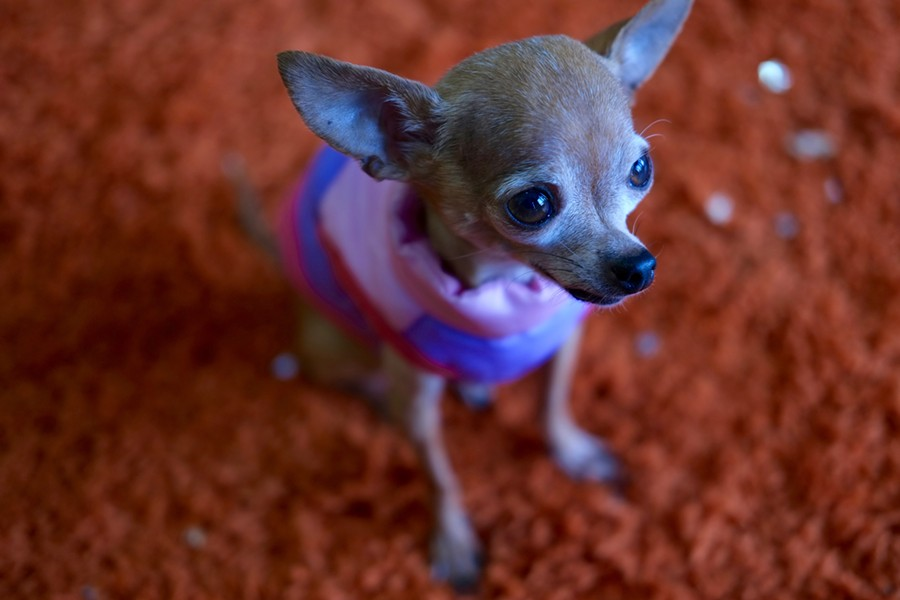 "Strummer, a two-pound chihuahua owner Melissa Elliott rescued from the streets, now greets the customers with ""tiny barks,"" she says. - ISA GIALLORENZO"