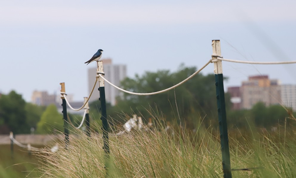 A tree swallow perches on a fence post blocking a protected area of the Montrose Point Bird Sanctuary in June 2019. The sanctuary contains several guarded areas to preserve the many species present. - JJ NICOLE