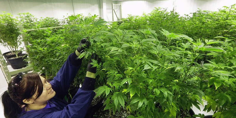 "Ashley Thompson inspects plants inside the ""Mother Room"" at the Ataraxia medical marijuana cultivation center in Albion."