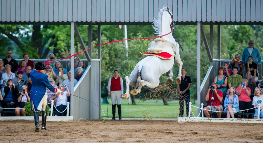 The Tempel Lipizzaner Matinee features white stallions performing their version of ballet. - JEFF A. GOLDBERG