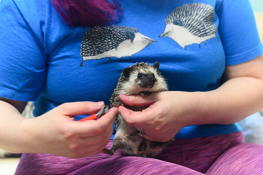 Jenna Perlich cuts a hedgehog's nails. Part of hedgehog care includes occasional baths and nail trimmings. - GONZALO GUZMAN