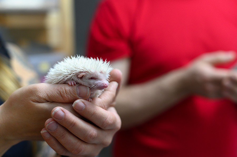 Hedgehogs can come in various colors including brown, cream, black, and even albino. - GONZALO GUZMAN