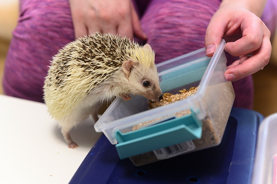 An adult hedgehog gets a mealworm treat. The hedgehogs are fed a diet of quality cat kibble and insects. - GONZALO GUZMAN