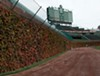 The iconic ivy beckons at Wrigley Field.