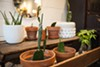 Potted cacti in the dining room