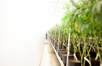 Will the Trump administration interfere with Illinois's medical pot program?