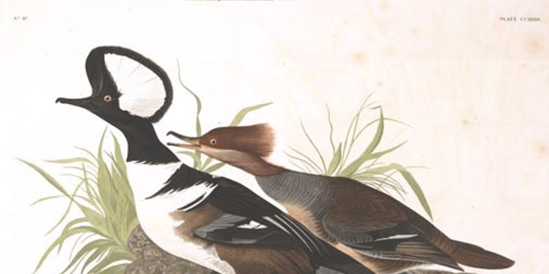 Why show you this hooded merganser? You'll find out after the jump.