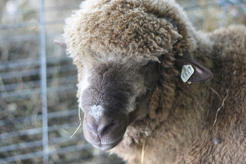 A cotswold ram - DOUBLE KNOT STUDIO