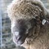 New York State Sheep & Wool Festival