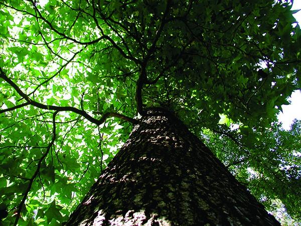 A mature sweetgum tree. - LARRY DECKER