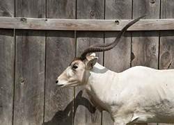 Addax, an Arabian antelope, at the Highland Deer Farm. - ROY GUMPEL