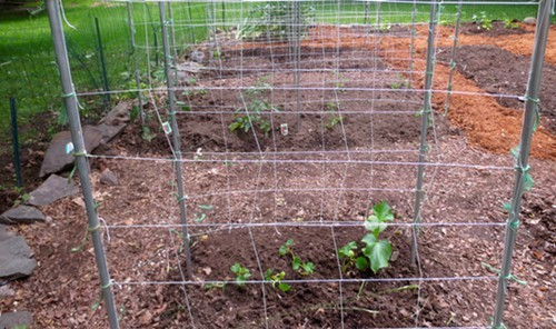 After: Beautiful trellis ready for cucumbers and tomato plants