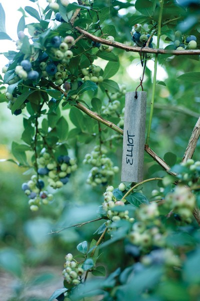 Blueberries are native to the East Coast and up to 25 year old plants thrive in Lee Reich's garden. - JENNIFER MAY