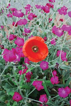 Bright orange poppy amidst rose campion flowers.