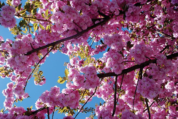 Certain cultivars of ornamental cherry trees are tougher than others. - LARRY DECKER