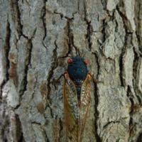 Cicadas  David Rothenberg