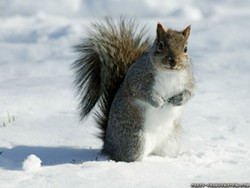 squirrel-at-winter-animal-wallpapers.jpg