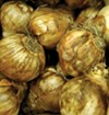 Daffodil bulbs (above) are much less palatable to critters than hybrid tulip bulbs (below).