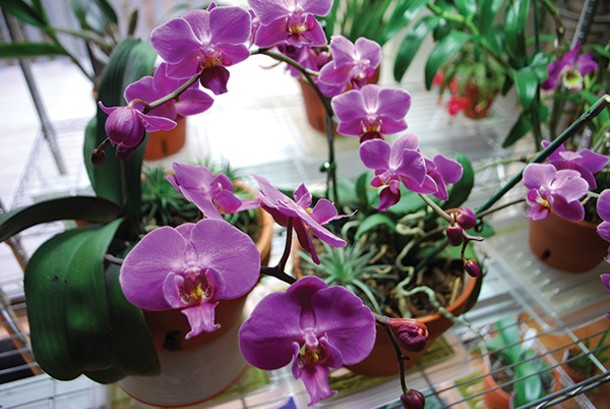 Easy-to-grow Phalaenopsis orchids are great for beginners.