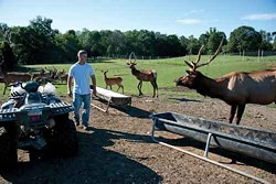 Elk and red deer gather at the trough at feeding time. - ROY GUMPEL