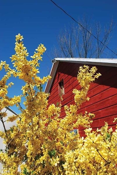 Forsythia is named for a Scottish horticulturist William Forsyth. - LARRY DECKER