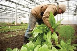 Four-Season Farm manager Jack Algiere plucks celtuse from the greenhouse. - JENNIFER MAY