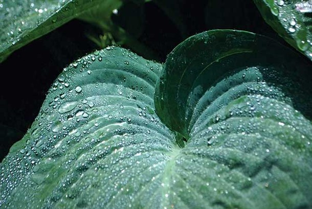 Freshly hydrated hosta. - LARRY DECKER
