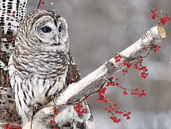 sl_snowshoe-8327321-barred-owl-and-red-berries.jpg