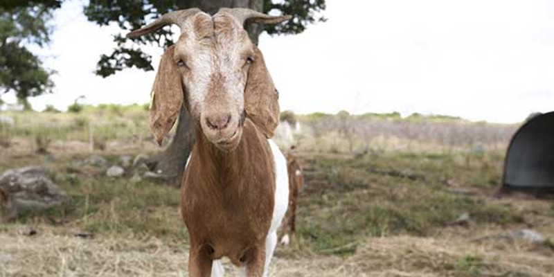 Glynwood Goat kid on pasture. Sara Forrest
