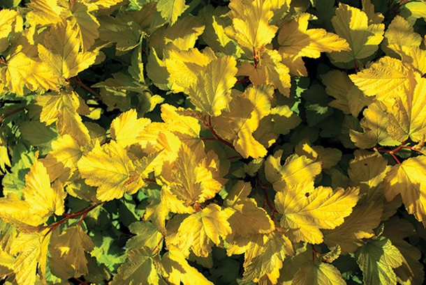 Golden ninebark for a wide range of soil conditions - LARRY DECKER