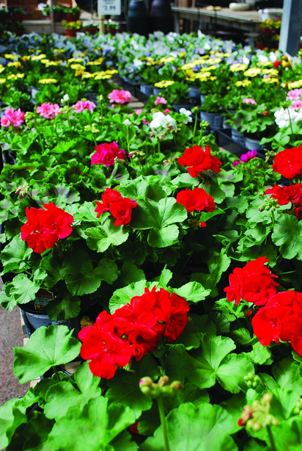 Good growers keep their geraniums and other annuals pinched and compact. - LARRY DECKER