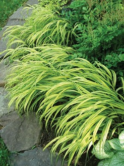 Hakonechloa grass lights up the shade - LARRY DECKER