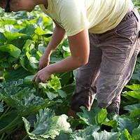 Glynwood Lise Serrell harvesting summer squash. Sara Forrest