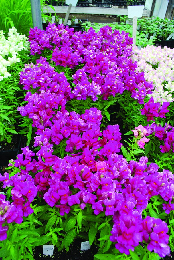 Look for uniform size and vigor across the packs of annuals. - LARRY DECKER