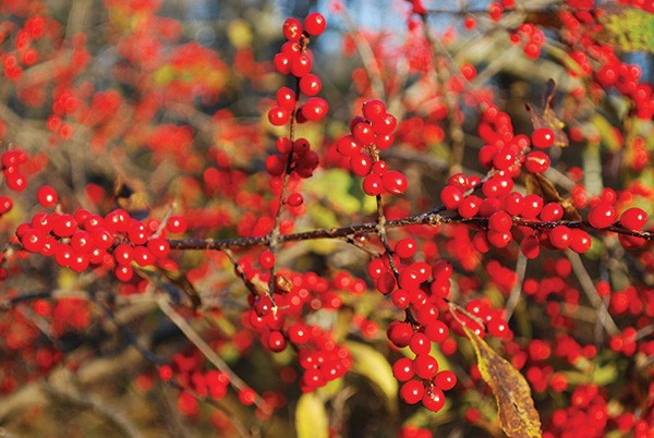 Look for winterberry holly at this time of year in gardens and in wet places at woodland edges. - LARRY DECKER