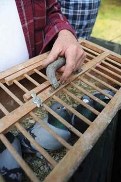 Millertime Loft cockbirds before being shipped to the Watkins Glen race. - ROY GUMPEL
