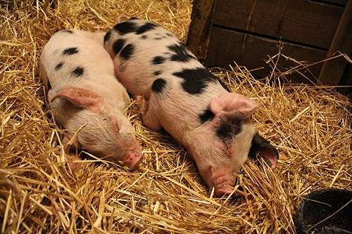Moses (R) and Miriam were rescued from an animal hoarder, along with another pig and 7 goats.