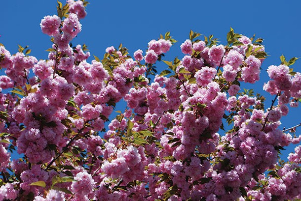 Most ornamental cherry trees, especially double-flowered varieties, are low on the - allergenic scale. - LARRY DECKER