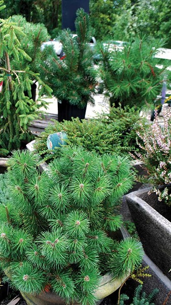 "Mugho pines and other ""dwarf"" conifers can get embarrassingly large, the author found."