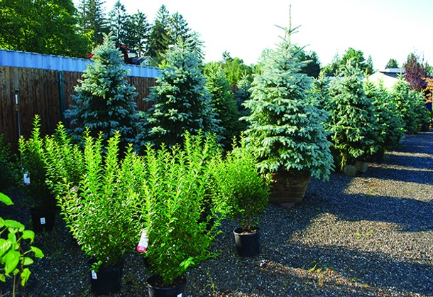 Observe the general growing conditions for the trees and shrubs in a nursery. Do they - look uniformly well watered and healthy, like these do? - LARRY DECKER