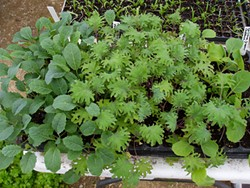 c0710079_kale_seedlings_1.jpg