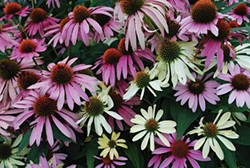 Purple and white coneflowers have a myriad of common names, but only one Latin name. - LARRY DECKER