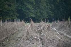 Ravaged tomato fields in New Paltz at Taliaferro Farms. - ROY GUMPEL