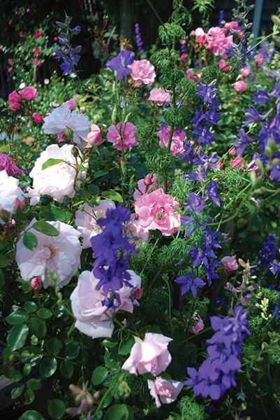 Roses supporting purple delphiniums.