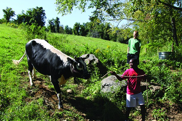 Sophomore Tyejae Burchall leads one of South Kent School's oxen out of its pen with the support of classmate Lucas Vanroboys.