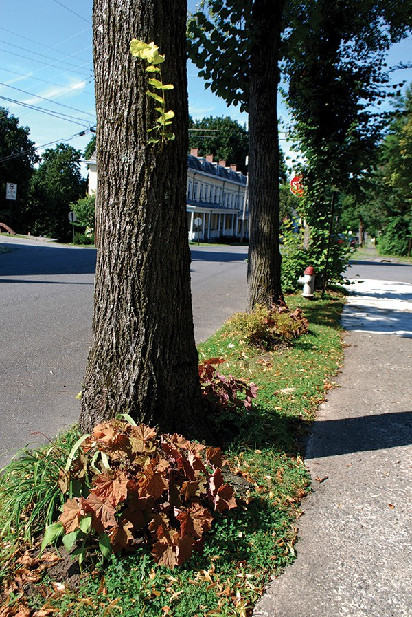 Street trees vary in their ability to adapt to limited root space. When this homeowner waters the perennials that he or she planted in the tree lawn, the street trees benefit greatly - LARRY DECKER